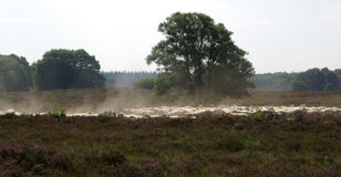 Sheep on heathland. Sheep being herded on heathland near Ermelo (Netherlandslands). This is what the landscape of large parts of North-Western Europe originally Stock Photos