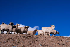 Sheep in heaven. On the way to sacred lake in Ali, Tibet, a group of sheep was herd by Tibetans Royalty Free Stock Photo