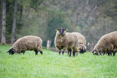Sheep with heavy coats of wool standing in green grass and black faces Stock Images