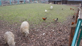 A sheep and a hen are sharing a piece of bread in a country, rural, scenery in a cloudy day A sheep and a hen eating stock video footage