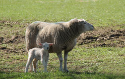 Sheep with Her Baby Lamb. A Mother Ewe Sheep with Her Baby Lamb stock images