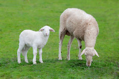 Sheep with her calf grazing Royalty Free Stock Image
