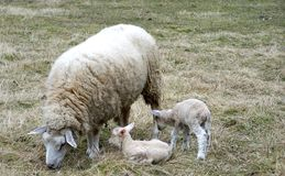 A sheep and her cubs stock photos