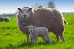Sheep and her cute little lamb stock photo