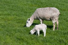 Sheep with her lamb Royalty Free Stock Photos
