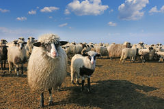Sheep and her lamb Stock Images