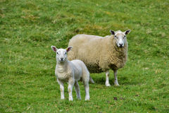 A sheep and her lamb. On a grass Royalty Free Stock Image