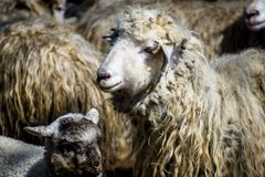 Sheep with her lamb newborn. Sheep cuddle her new born lamb stock images