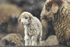 Sheep with her lamb newborn. Sheep cuddle her new born lamb in the snow fields in the cold winter. Shimshal, Pakistan Stock Photography