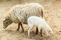 Sheep and her lamb outdoors Stock Images