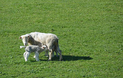 Sheep & her Lamb in Springtime on New Zealand Farm. Royalty Free Stock Photo