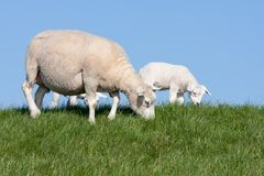 Sheep with her lambs Royalty Free Stock Images
