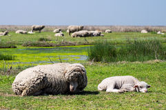 Sheep and her mother. Young sheep and her mother on the green grass on the lake with his flock Stock Images