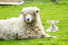 Sheep and her newborn lamb. A Lincolnshire Long Wool sheep with her newborn lamb in a green field in April. Idyllic rural scene Royalty Free Stock Image