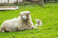 Sheep and her newborn lamb. A Lincolnshire Long Wool sheep with her newborn lamb in a green field in April. Idyllic rural scene Stock Image