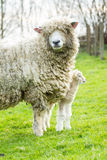 Sheep and her newborn lamb Royalty Free Stock Images