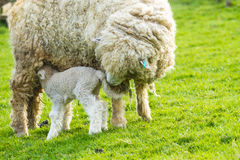 Sheep and her newborn lamb. A Lincolnshire Long Wool sheep with her newborn lamb in a green field in April. Idyllic rural scene Stock Images