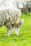 Sheep and her newborn lamb. A Lincolnshire Long Wool sheep with her newborn lamb in a green field in April. Idyllic rural scene Royalty Free Stock Images