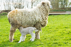 Sheep and her newborn lamb. A Lincolnshire Long Wool sheep with her newborn lamb in a green field in April. Idyllic rural scene Royalty Free Stock Photos