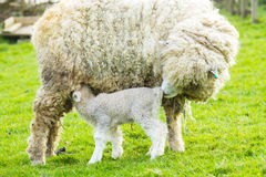 Sheep and her newborn lamb. A Lincolnshire Long Wool sheep with her newborn lamb in a green field in April. Idyllic rural scene Stock Photos