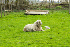 Sheep and her newborn lamb. A Lincolnshire Long Wool sheep with her newborn lamb in a green field in April. Idyllic rural scene Royalty Free Stock Photo