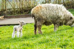 Sheep and her newborn lamb. A Lincolnshire Long Wool sheep with her newborn lamb in a green field in April. Idyllic rural scene Royalty Free Stock Photography