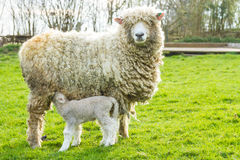 Sheep and her newborn lamb. A Lincolnshire Long Wool sheep with her newborn lamb in a green field in April. Idyllic rural scene Stock Photography