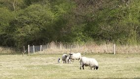 Sheep and her two newborns stock video footage