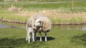 Sheep and her young stock footage