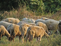 Sheep herd Stock Photography