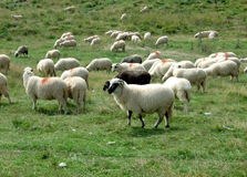 Sheep herd. Big herd of sheep on a green meadow Royalty Free Stock Photos