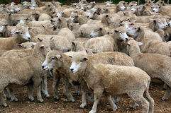 Sheep herd. Sheep trying to stay as close together as possible for protection.  Cattle Ranch.  Uruguay Stock Photos