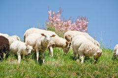 Sheep Herd Royalty Free Stock Images