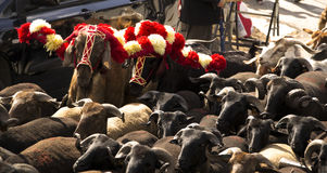 Sheep herd. A close up on a herd, during a religious celebration, in Portugal Royalty Free Stock Images