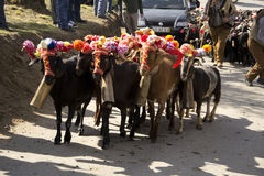 Sheep herd. A close up on a herd, during a religious celebration, in Portugal Stock Photography