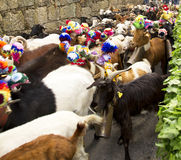 Sheep herd. A close up on a herd, during a religious celebration, in Portugal Royalty Free Stock Image