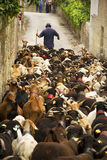 Sheep herd. A close up on a herd, during a religious celebration, in Portugal Stock Photos