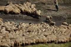Sheep herd. Traditional sheep herd in water Royalty Free Stock Photo