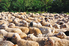 Sheep Herd. A herd of sheep gathered together Stock Photos