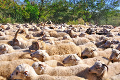 Sheep Herd. A herd of sheep gathered together Stock Images