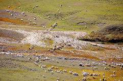 Sheep Herd Royalty Free Stock Photos