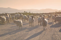 Sheep herd. Large group of sheep on a dusty road in Transylvania Royalty Free Stock Images