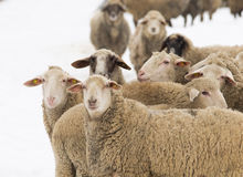 Sheep herd. Herd of sheep isolated on white background Stock Image