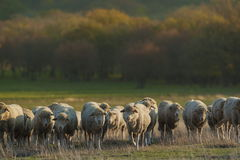 Sheep herd Royalty Free Stock Photo