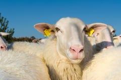 Free Sheep Herd Stock Photography - 40079592