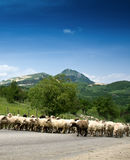 Sheep herd Stock Image