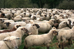Sheep Herd. In Germany royalty free stock photo