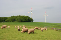 Sheep Herd. German sheep herd royalty free stock photography