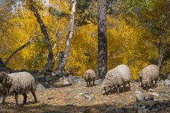 Sheep herd in Autumn Stock Image