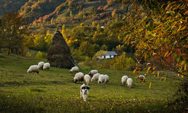 Sheep herd in autumn. A peaceful rural autumn scenery with a shepherd dog in the foreground and the herd behind him. More towards the background there is a Stock Image